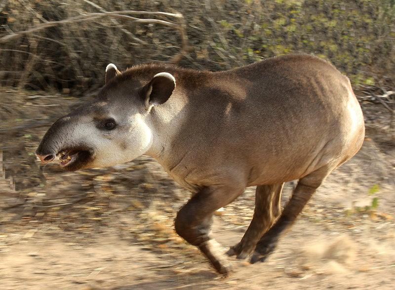 Ein Flachlandtapier (Tapirus terrestris)