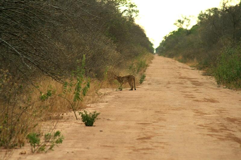Der Puma (Puma concolor) hat wohl besseres zu tun