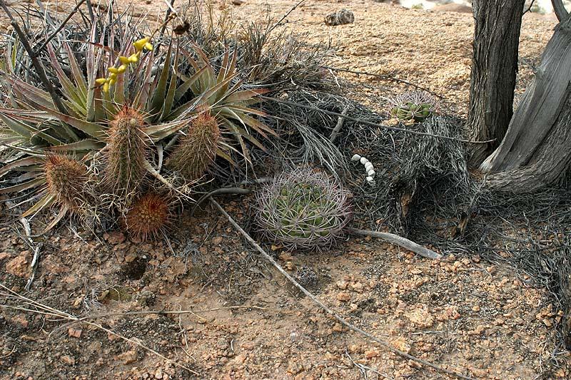 The genus Gymnocalycium                                  Gymnos in habitat