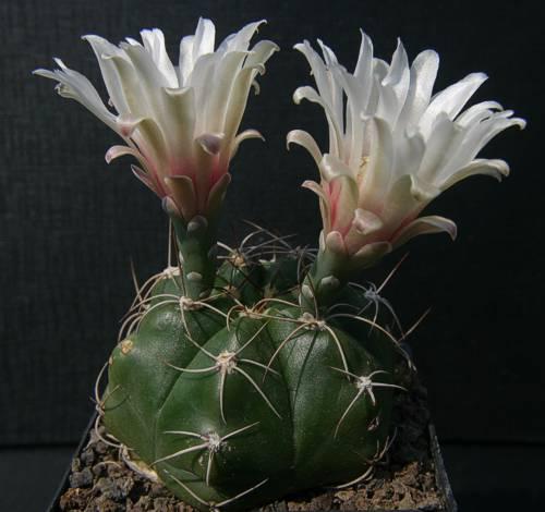 Gymnocalycium fleischerianum VoS 30