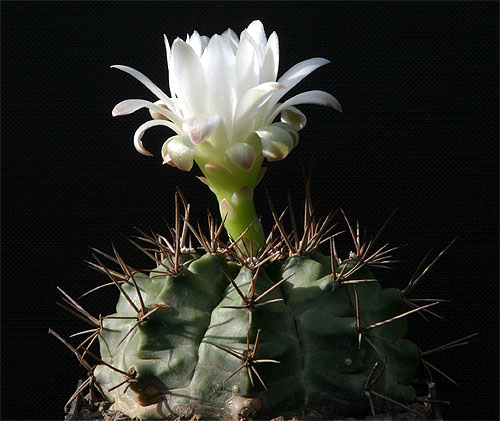 Gymnocalycium damsii ssp. evae var. torulosum VoS 37
