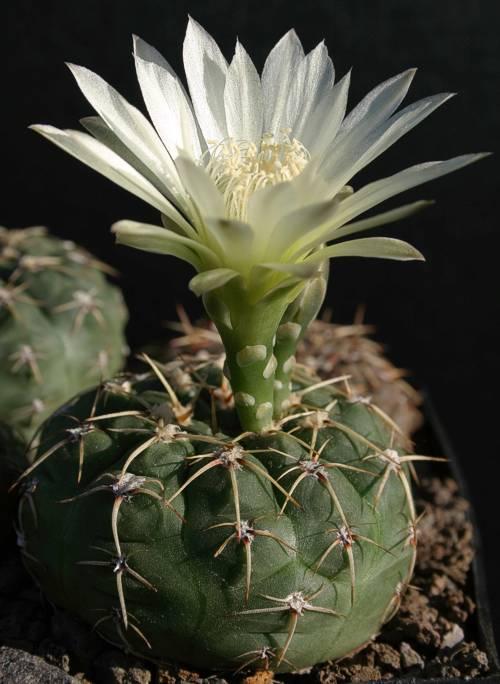 Gymnocalycium schroederianum subsp. bayense WP 112/149