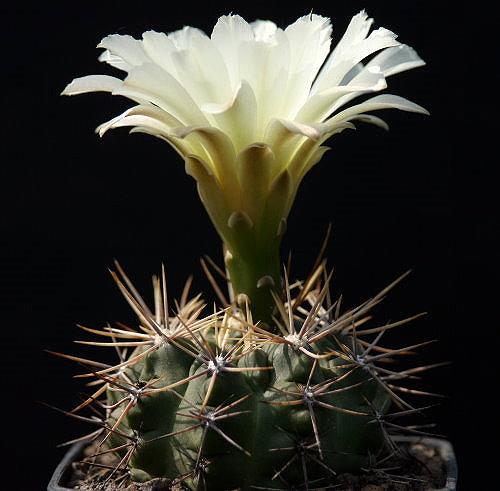 Gymnocalycium reductum P 94