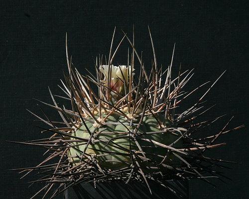 G. spegazzinii subsp. cardenasianum var. armatum VoS 74