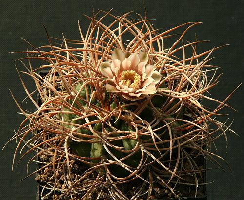 Gymnocalycium rhodantherum  (guanchinense) P 126