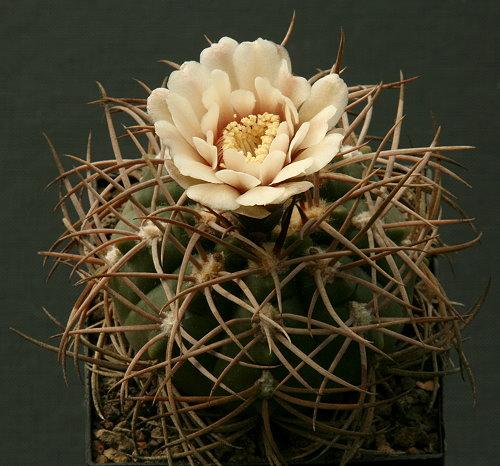 Gymnocalycium catamarcense subsp. schmidianum STO 60