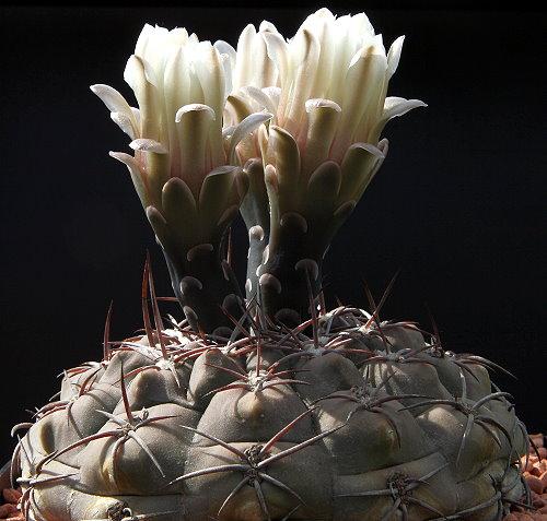 Gymnocalycium glaucum subsp. ferrarii VoS 124