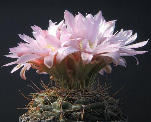 G. erinaceum v. paucisquamosum STO 390