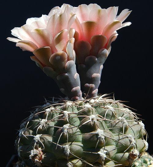 G. kieslingii var. albiareolatum STO 181