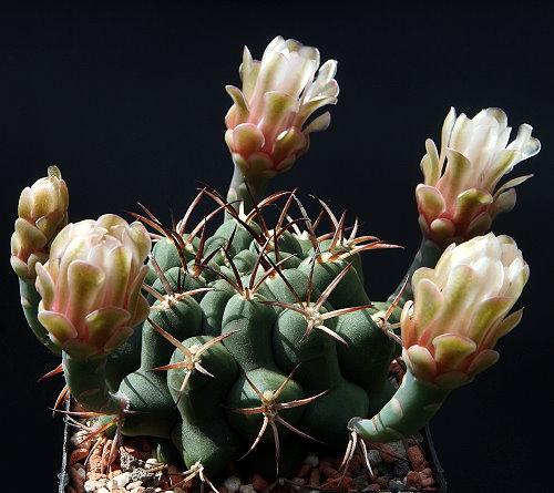 G. schickendantzii subsp. delaetii  GN 298-999