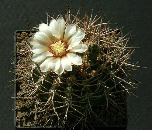 G. ochoterenai var. scoparium LB 383