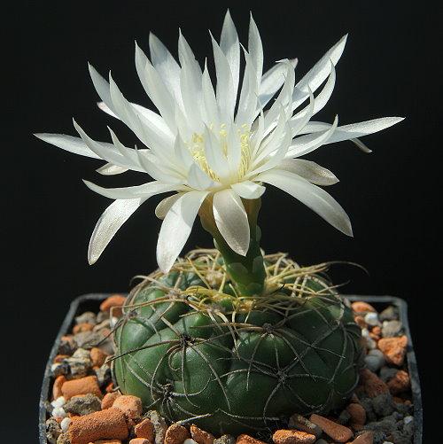 G. denudatum subsp. angulatum Gf 304