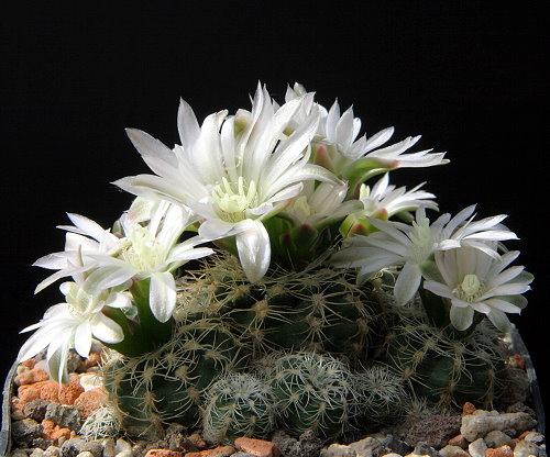 Gymnocalycium bruchii subsp. susannae LB 1373