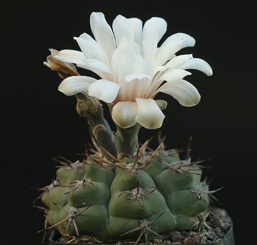 G. capillense var. mucidum GN 383-1281