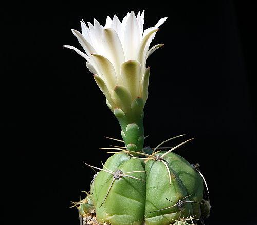 G. horstii subsp. megalanthum Gf 105
