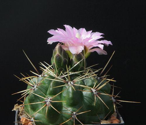 G. monvillei subsp. brachyanthum LB 1400