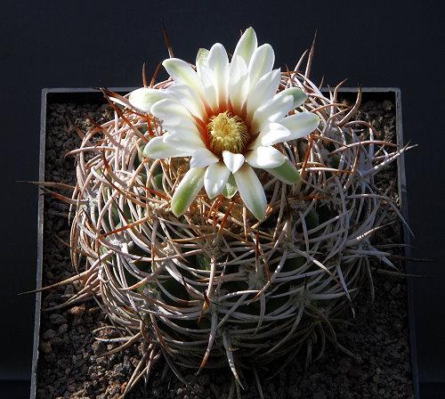 G. castellanosii subsp. ferocius