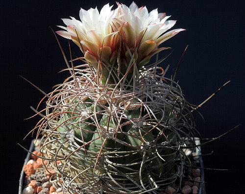 G. castellanosii var. rigidum WP 341/733