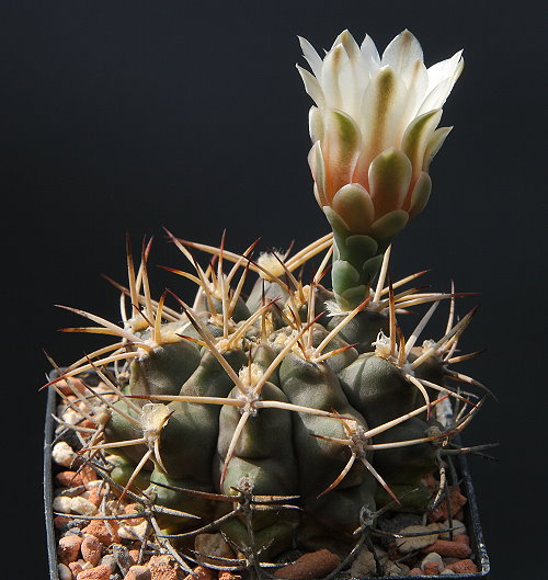 G. schickendantzii subsp. bergeri GN 308/1032