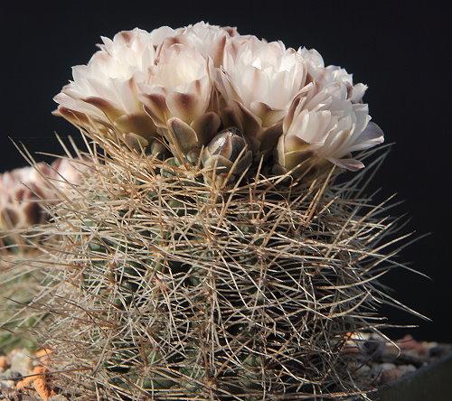 G. carolinense subsp. ludwigii STO 533