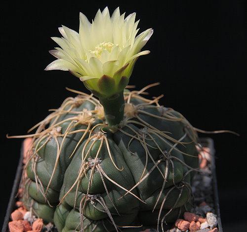 G. denudatum subsp. necopinum PR 876