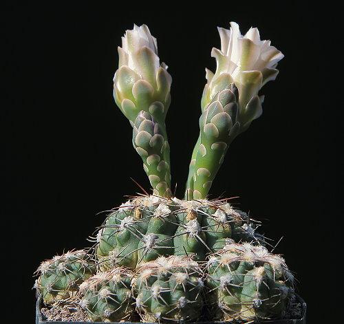 G. albiareolatum WR 716