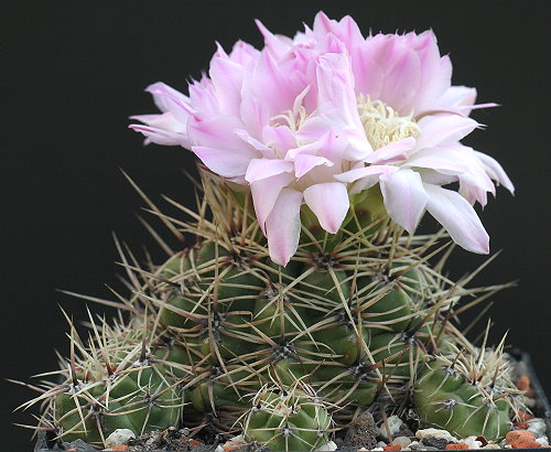 G. monvillei subsp. brachyanthum STO 539