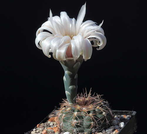 G. parvulum subsp. hüttneri VoS 749