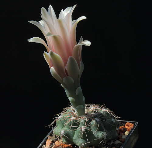 G. sutterianum subsp. arachnispinum VoS 638