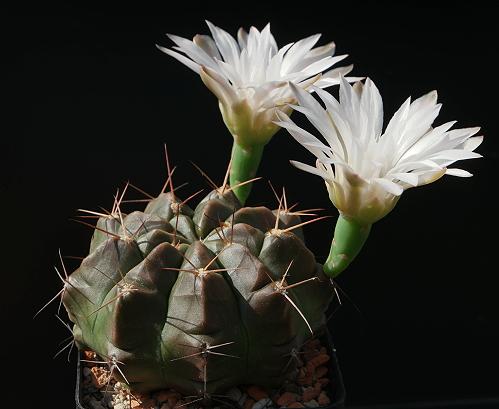 G. pseudo-malacocarpus L 365