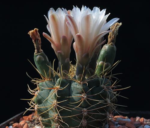 G. kroenleinii subsp. funettae VoS 1436