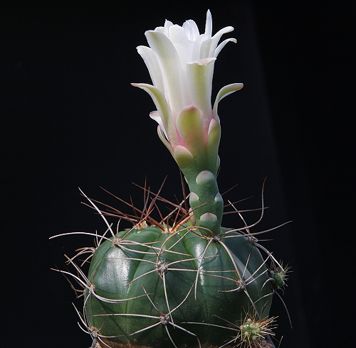 Gymnocalycium fleischerianum VoS 316