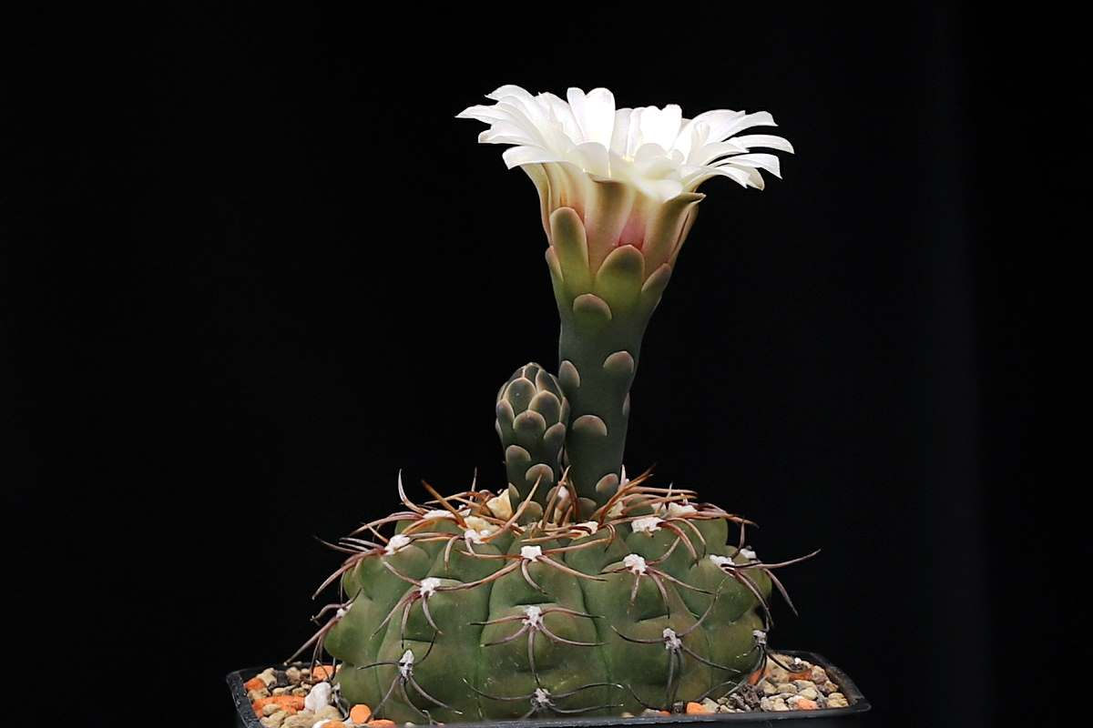 G. ochoterenae subsp. intertextum VoS 857
