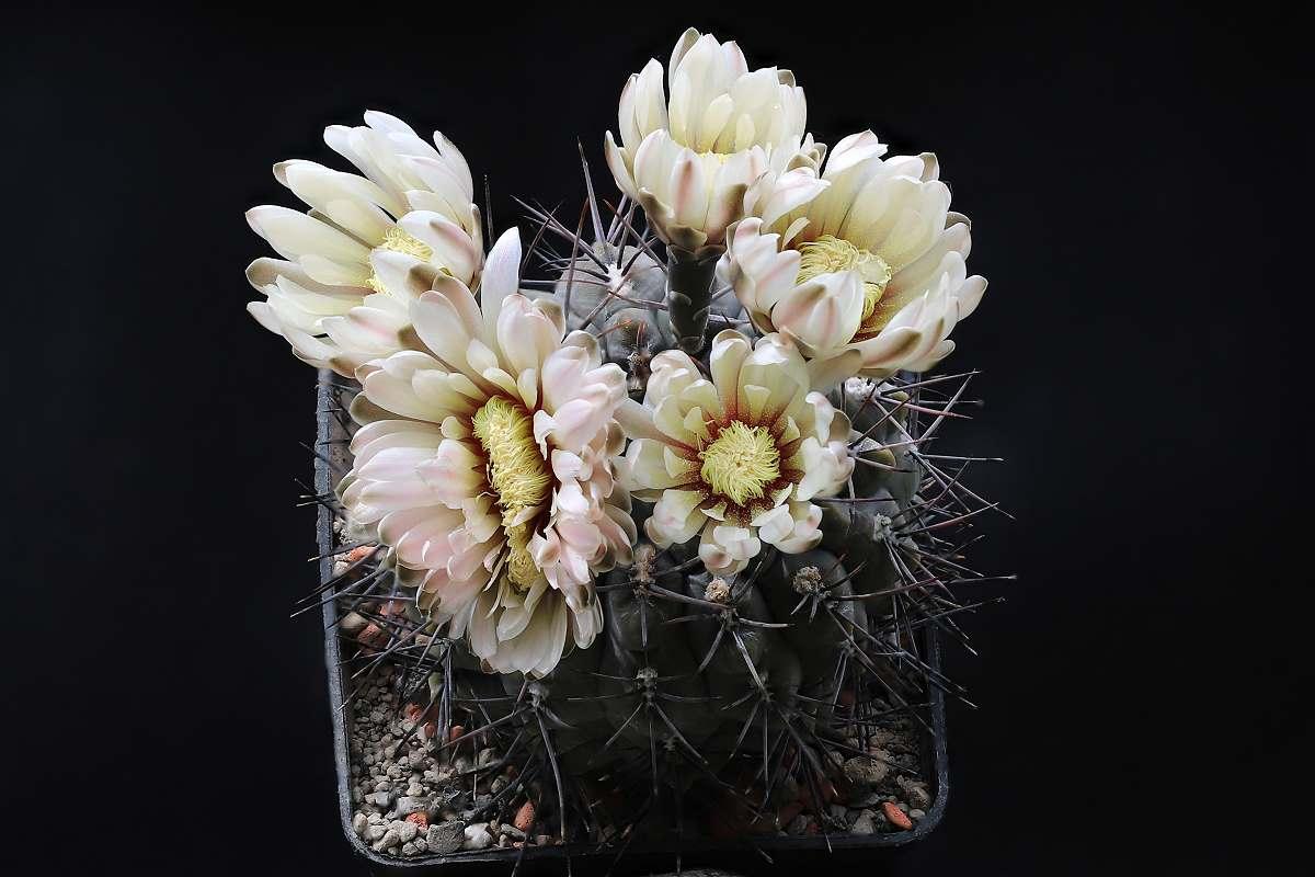 G. borthii subsp. nogolense VoS 189